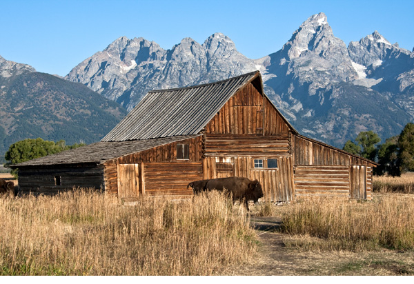 Bison in front of a barn with mountain backdrop