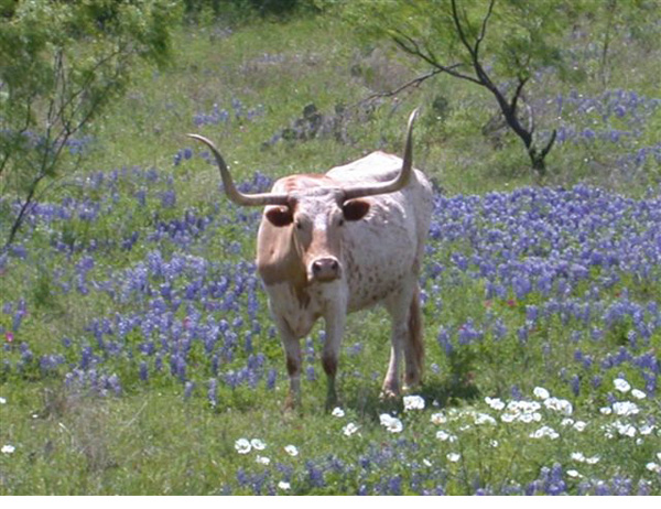 Mike Thompson photo of a longhorn among the blue bonnets