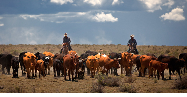 Two cowboys on a cattle drive