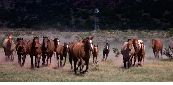 Horses running towards camera in search for water