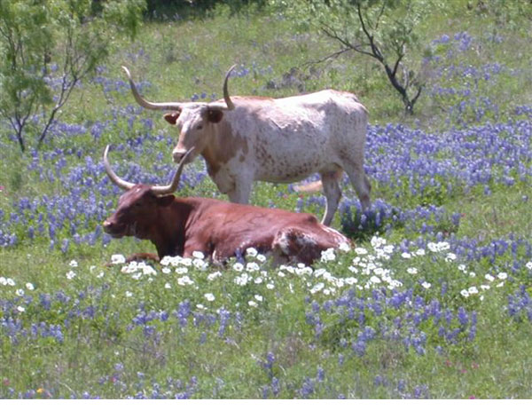 Mike Thompson photo of 2 steers in the field