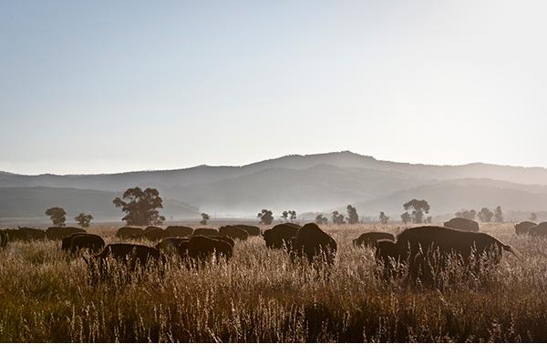 Buffalos on the plain