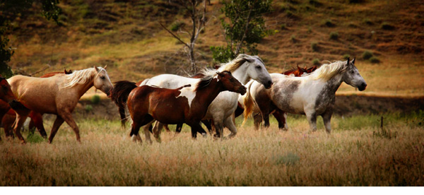 Horses walking across the plain.
