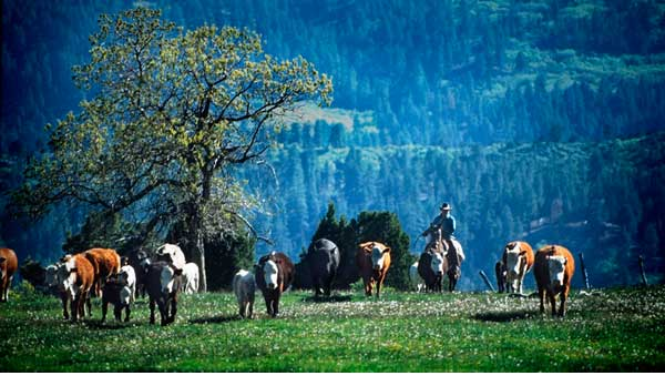 Myron Beck Herding Cows Photograph